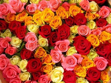 what do different color roses different colors of roses www pixshark images