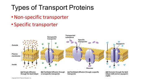 a protein channel is a transport protein that other modes of transport facilitated diffusion and active