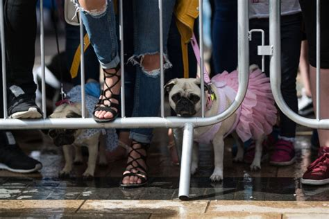 pugs their owners pug dogs and their owners the competition for the pug dressed in the best