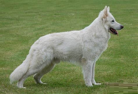american white shepherd puppies american white shepherd puppies rescue pictures information temperament