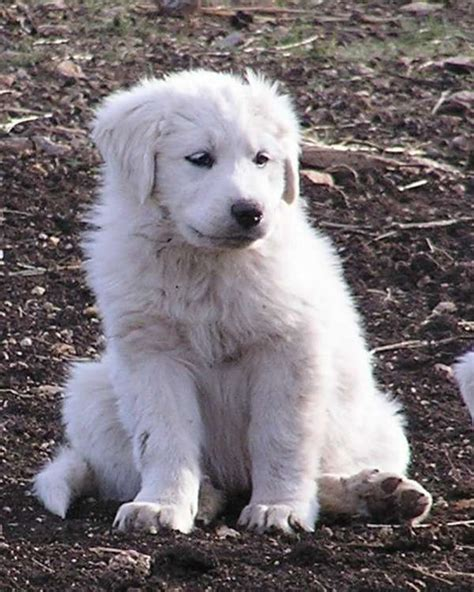 pictures of great pyrenees puppies puppies pictures and information