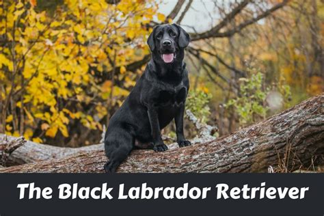 black lab puppies info black labrador retriever facts