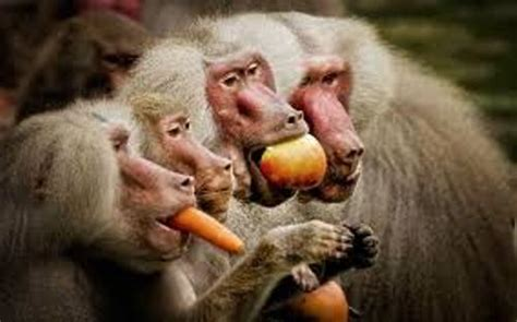 facts  baboons fact file