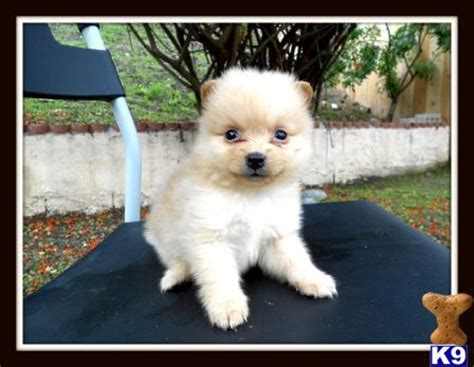 pug puppies for sale in pa cheap pomeranian puppies for sale in pa for cheap breeds picture