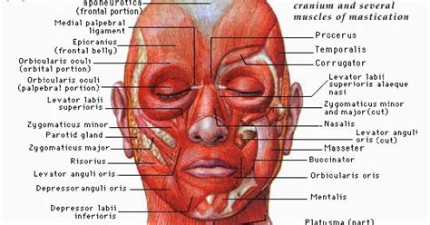 format asuhan keperawatan lengkap asuhan keperawatan lengkap otot muka bagian depan