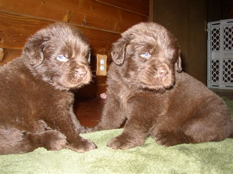 brown newfoundland puppies for sale dreamcatcher newfoundlands newfoundland breeder tiffin ohio