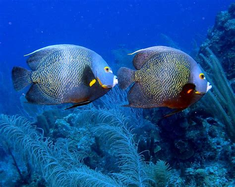fish for life a french angelfish 11 animals that mate for life mnn mother nature network