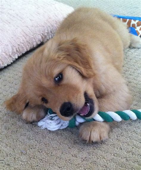 casey golden retrievers 17 best images about just goldens on golden retriever rescue pets and puppys