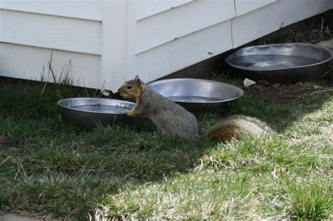 squirrel drinking from dog s water dish picture free