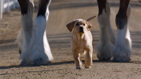 puppy superbowl budweiser s big ad is a puppies and ponies play today