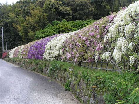 flower tunnel japan wisteria flower tunnel kawachi fuji garden japan 10 hot