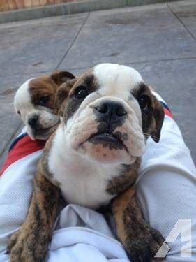 bulldog puppies sacramento bulldog puppies for sale in sacramento california classified americanlisted