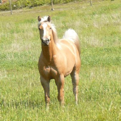 yorkies for sale in manitoba aqha incentive fund 2013 filly for sale