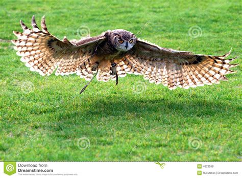 royalty free stock photography stustock owl flying stock image image of animal grass feathers