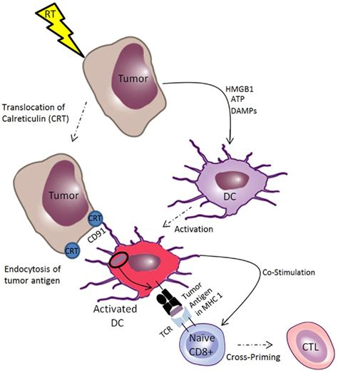 How To Detox Dead Cancer Cells From Chemo And Radiation by Frontiers Combinations Of Immunotherapy And Radiation In