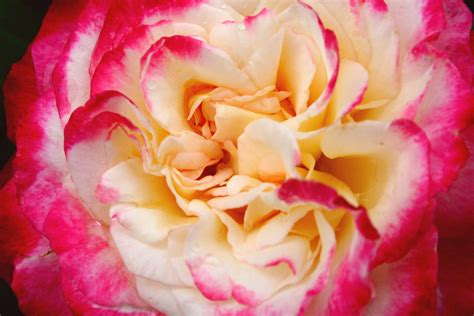 facts about carnations interesting ways of using carnations flower pressflower