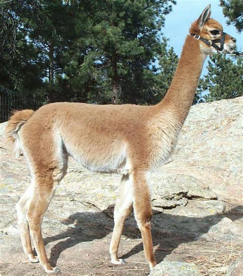 day   ranch ruminations  alpaca ranchingthoughts captured   feeding
