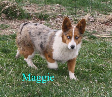 new breed quot auggie quot a corgi and australian shepherd bred