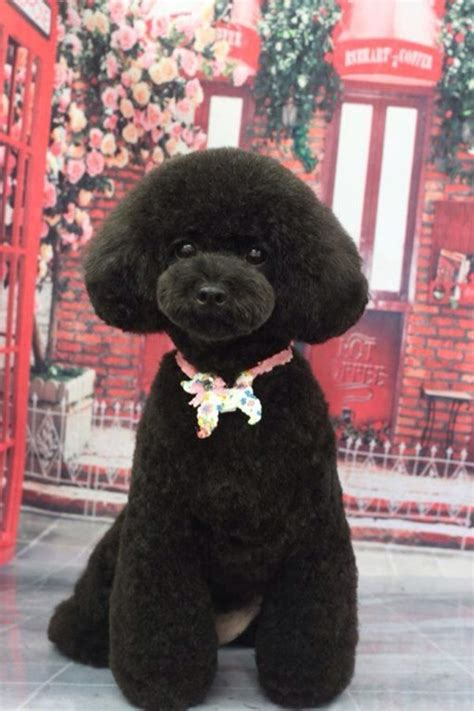 different poodle hair styles 30 different dog grooming styles tail and fur
