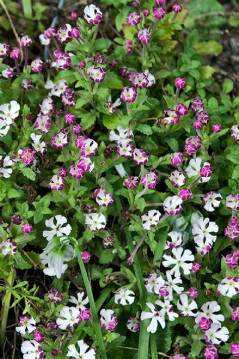 imagenes de flores que abren de noche 9 arom 225 ticas flores que florecen por la noche 161 preciosas