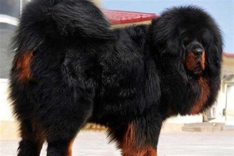 tibetan mastiff puppy for sale tibetan mastiff puppies for sale bazar