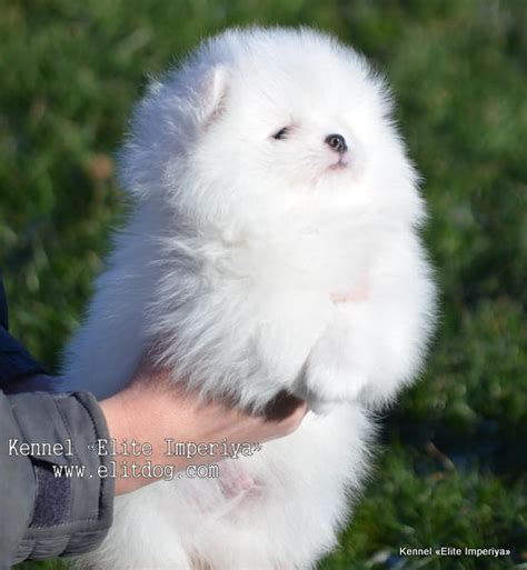 miniature pomeranian for sale uk maltese pomeranian poodle mix for sale in arcade new york empire hd breeds picture