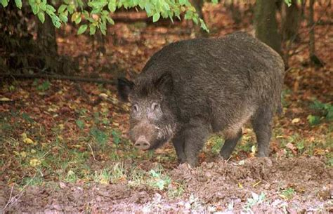 a piglet called truffle 0857637738 friday fiction searching for istrian truffles pig included croatia times