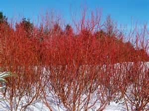 cardinal redtwig dogwood knecht s nurseries landscaping