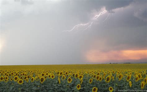 ata sot bulgaria sunflowers summer rain wallpapers desktop