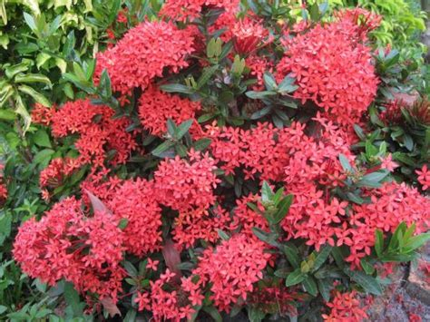 khasiat bunga asoka  kesehatan artikel kesehatan