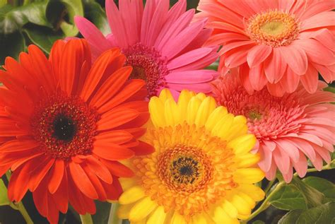 Daisies Flower | canada floral delivery blog a few facts about gerbera daisies