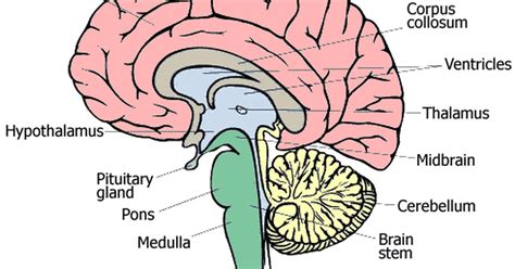 brain sections and what they do what the different parts of the brain do ehow uk