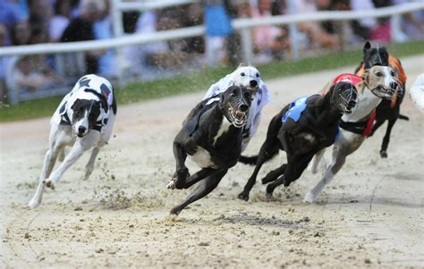 puppy race sky dogs chion stakes one for the sky previews greyhounds