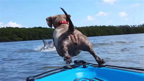 dog boat dolphin wiener dog dives off a kayak to chase after a dolphin