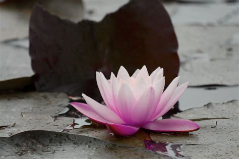 Buddhist Lotus Flower Lotus Flower Meditation And Modern Buddhism In Northern