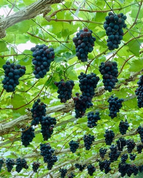 15 best climbing plants for your pergola and arbor