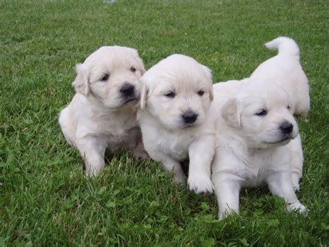 pictures of a golden retriever puppy golden retriever puppies forum switzerland