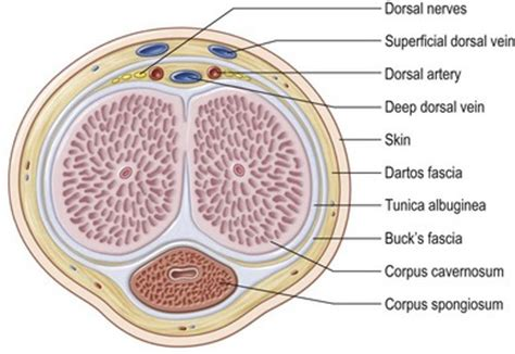 cross section of a penis reconstruction of male genital defects plastic surgery key