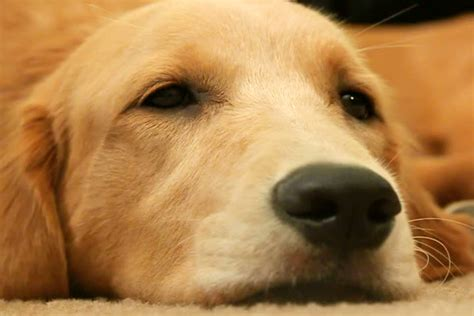 golden retriever puppy falling asleep golden retriever resting falling asleep in standard definition breeds picture