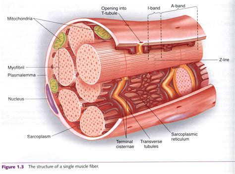 cross section of skeletal muscle cross section of skeletal muscle bodyrecomposition