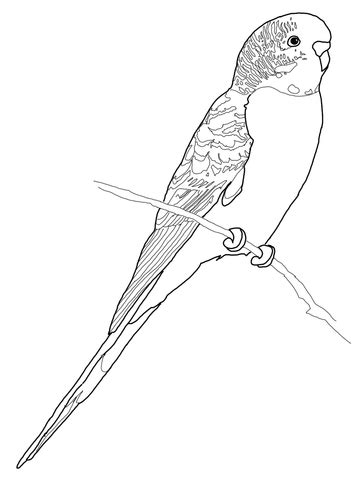 Budgerigar Parrot Coloring Page  Free Printable Pages sketch template