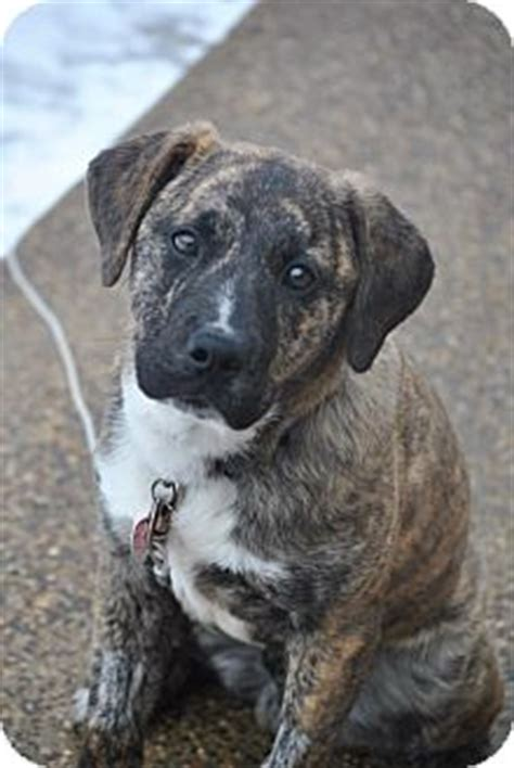 boxer puppies mn adopted puppy webster mn boxer shepherd unknown type mix