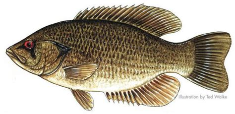pa fish and boat commission sweet valley pa fish tales pennsylvania s record catches since 1924