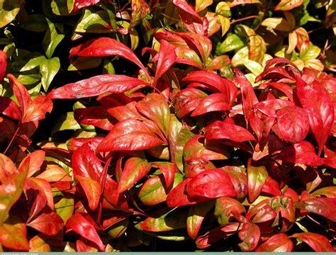 nana da giardino nandina domenstica nandina domenstica piante da