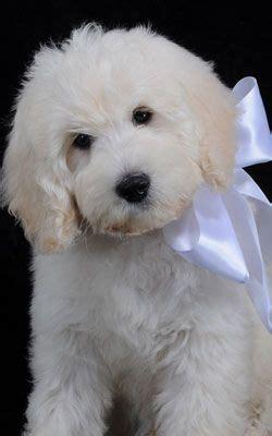 puppy doodle entertainment mini goldendoodle puppy playtime mini goldendoodle puppy