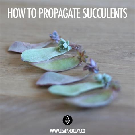How To Propagate Succulents From Cuttings And Offsets - 17 best images about propagate succulents on