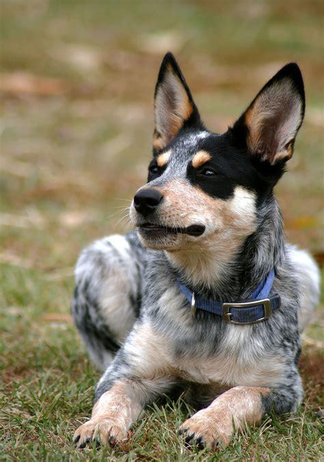 blue heeler puppy names 200 brilliant blue heeler names ideas for australian cattle puppies
