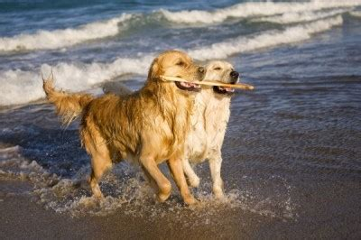golden retriever cancer hemangiosarcoma hemangiosarcoma in golden retrievers 4 types of cancer that rachael edwards