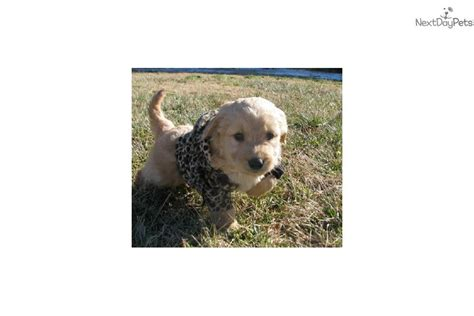 doodle puppies for sale in kansas princess goldendoodle puppy for sale near kansas city