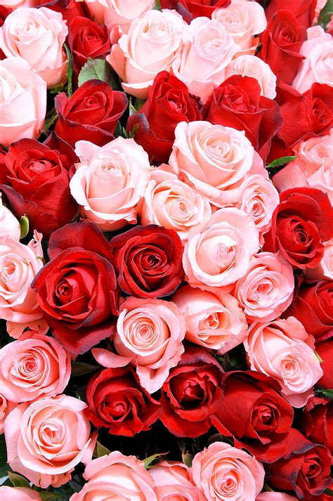 pink and red roses photo red pink roses wallpaper wall decor